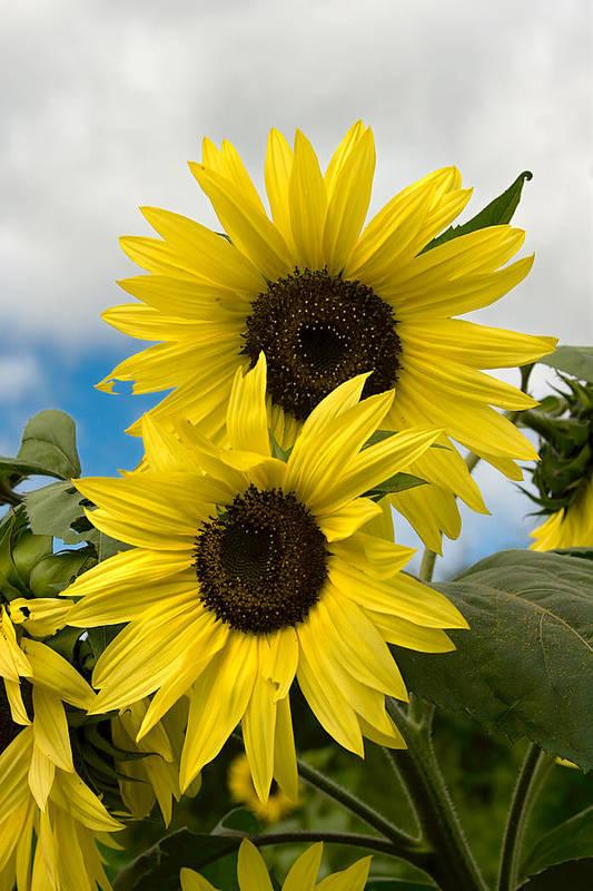 Yellow Art Print featuring the photograph Sunflowers by Chuck De La Rosa
