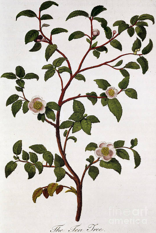Tea Print featuring the painting Tea Branch Of Camellia Sinensis by Anonymous