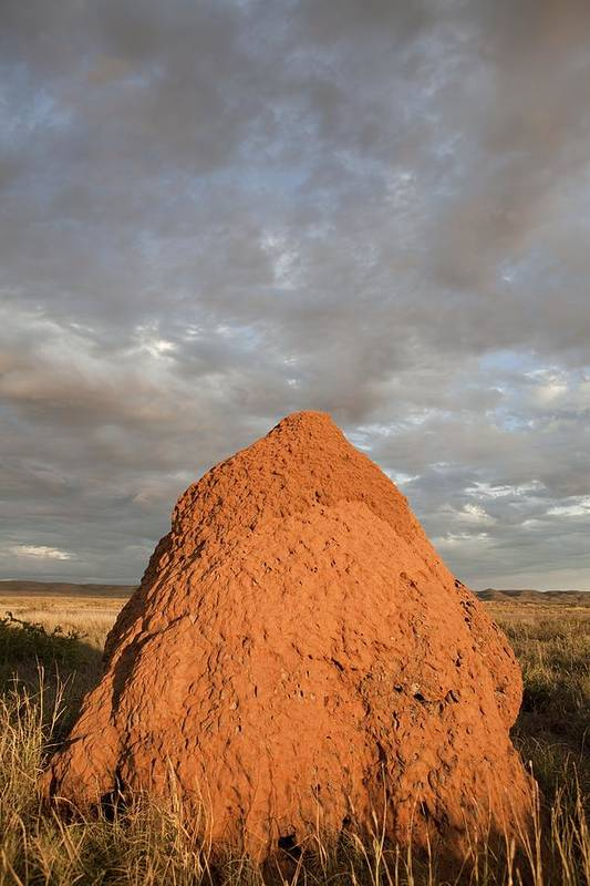 termite Nest Art Print featuring the photograph Termite Mound, Exmouth, Australia. by Science Photo Library