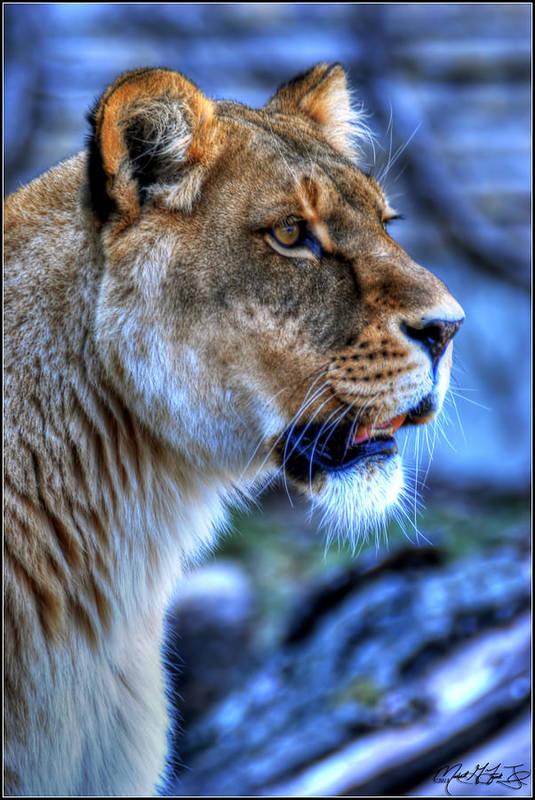 Lion Art Print featuring the photograph The Lioness Alert by Michael Frank Jr