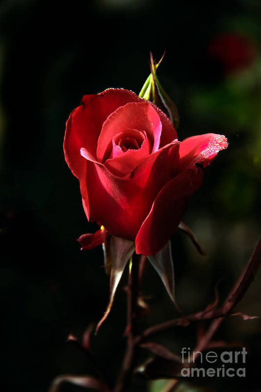 Rose Art Print featuring the photograph The Red Rode Bud by Robert Bales