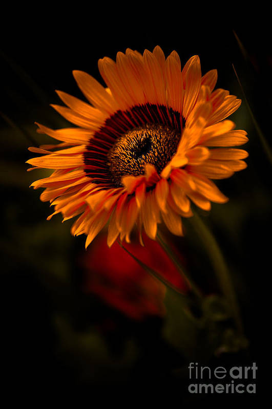 Asteraceae Family Art Print featuring the photograph Treasure Flower by Venetta Archer