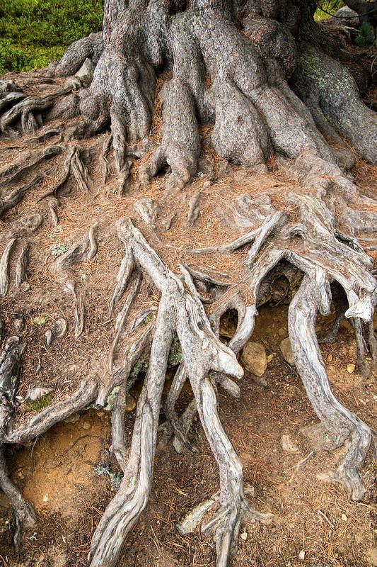 Tree Root Art Print featuring the photograph Tree Root by Matthias Hauser