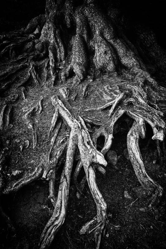 Tree Root Art Print featuring the photograph Tree Roots Black And White by Matthias Hauser