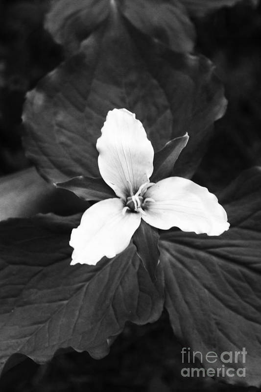 B&w Art Print featuring the photograph Trillium In Black And White by Cari Gesch