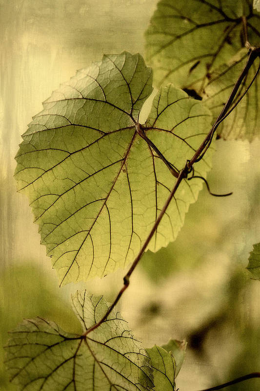 Grape Leaves Art Print featuring the photograph Trinity Grape Leaves by Amy Neal