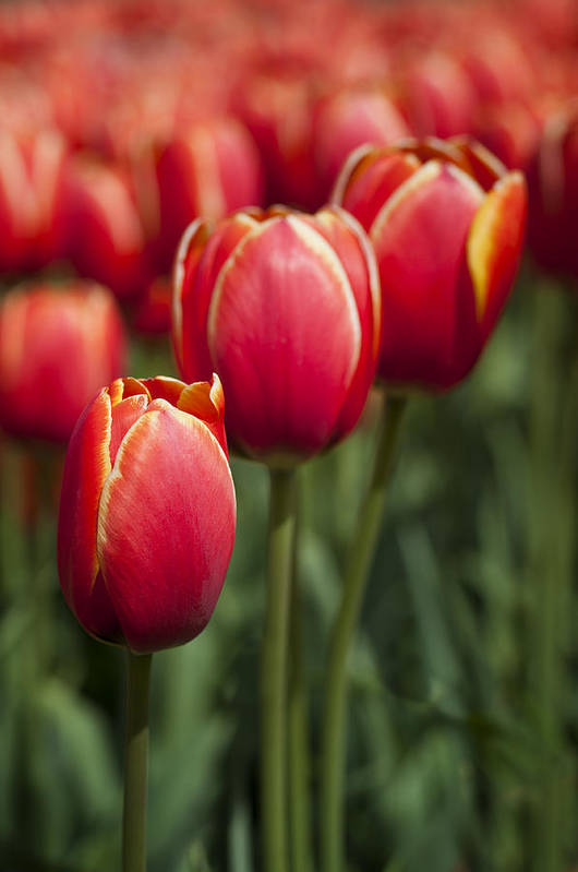 Tulip Art Print featuring the photograph Tulips by Anna Lysa