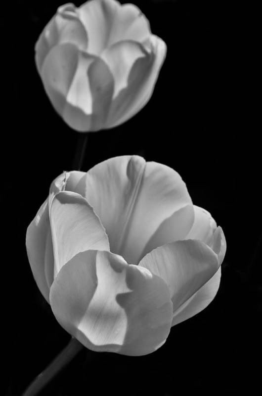 Tu;ip Art Print featuring the photograph Tulips by Tony Skerl