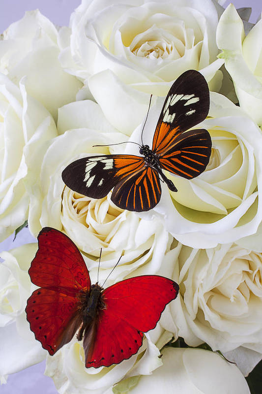 Two Butterfly Art Print featuring the photograph Two Butterflies On White Roses by Garry Gay