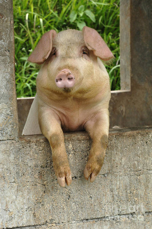 Pig Art Print featuring the photograph Well Hello There by Bob Christopher