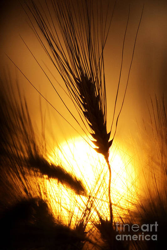 Sunset Print featuring the photograph Wheat At Sunset Silhouette by Tim Gainey