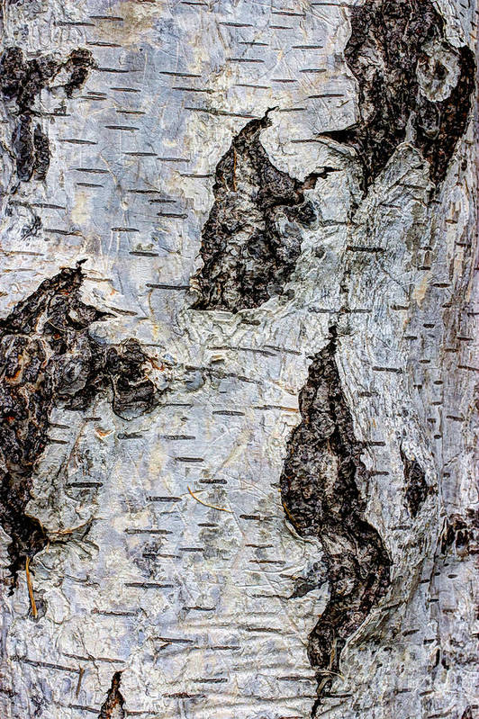 Organic Art Print featuring the photograph White Birch Abstract by Heidi Smith