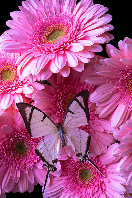 White Art Print featuring the photograph White Butterfly On Pink Gerbera Daisies by Garry Gay