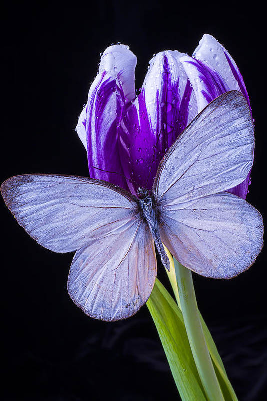 Purple Art Print featuring the photograph White Butterfly On Purple Tulip by Garry Gay