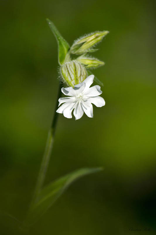 White Print featuring the photograph White Campion Flower by Christina Rollo