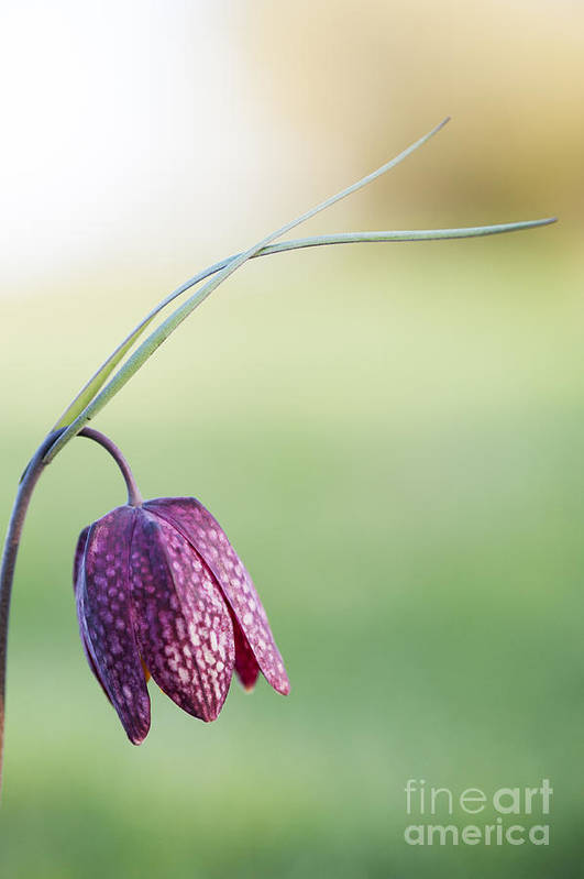 Fritillaria Meleagris Art Print featuring the photograph Wildflower Snakes Head Fritillary by Tim Gainey