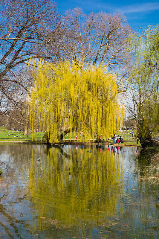Willow Art Print featuring the photograph Willow Tree Water Reflection by Matthias Hauser