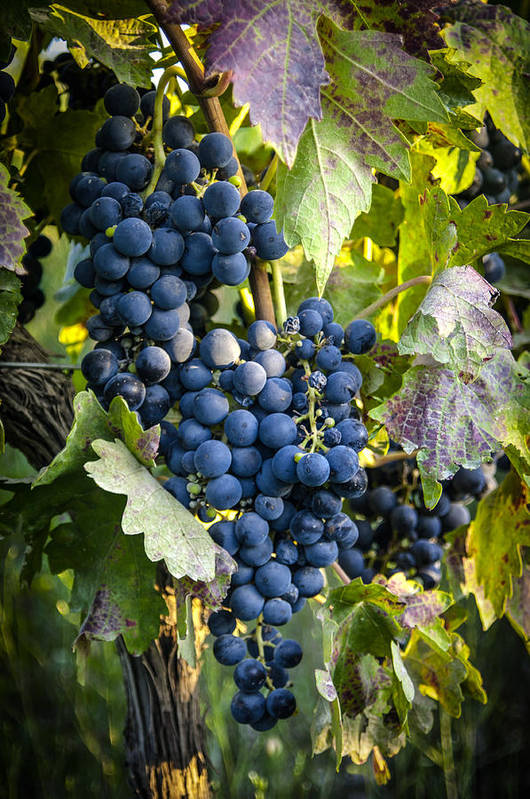 Grapes Art Print featuring the photograph Wine Grapes by Tetyana Kokhanets