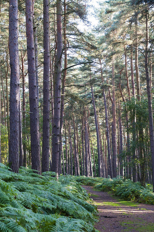 Aspley Art Print featuring the photograph Woodland Path by David Isaacson