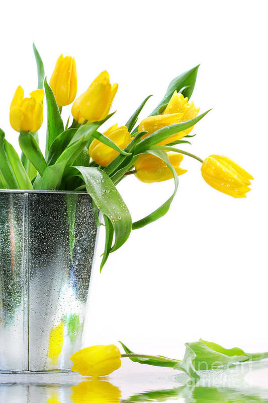 April Art Print featuring the photograph Yellow Spring Tulips by Sandra Cunningham