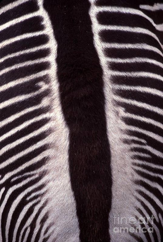 Zebra Art Print featuring the photograph Zebra Stripes Closeup by Anna Lisa Yoder