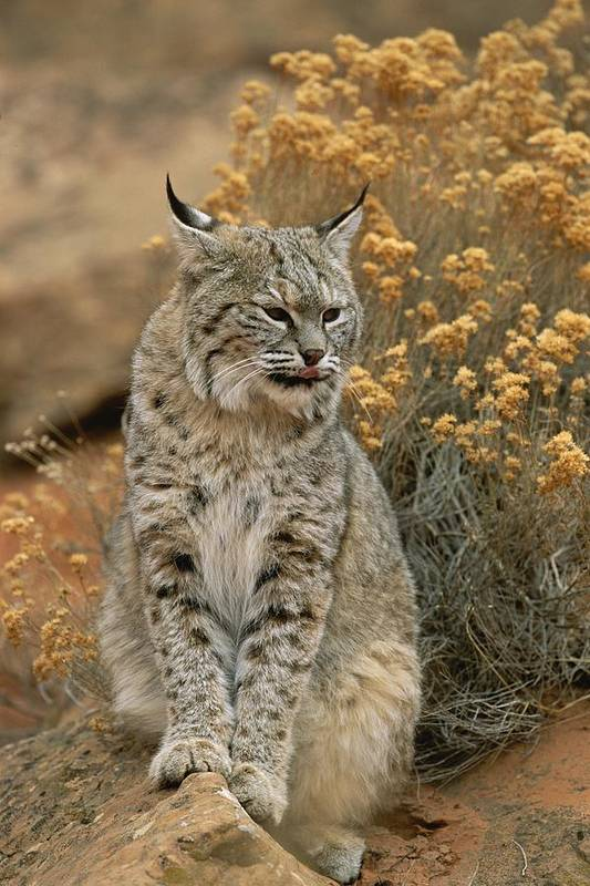 Animals Art Print featuring the photograph A Bobcat by Norbert Rosing