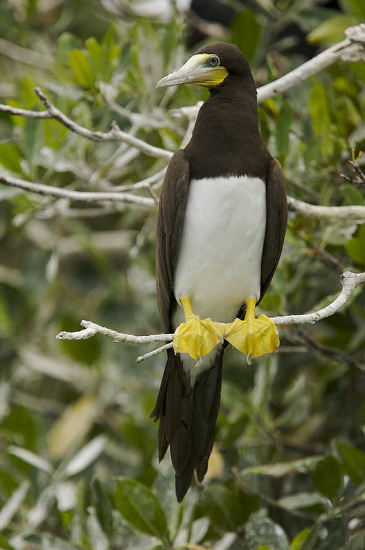 Photography Art Print featuring the photograph Brown Booby, Sula Leucogaster by Tim Laman