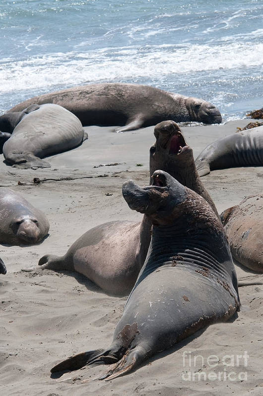 Animals Art Print featuring the digital art Elephant Seal Colony On Big Sur by Carol Ailles