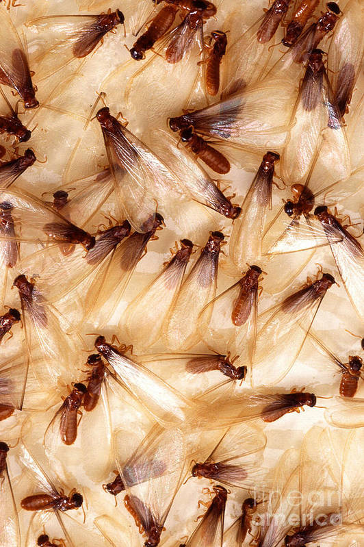 Formosan Termite Print featuring the photograph Formosan Termites by Science Source