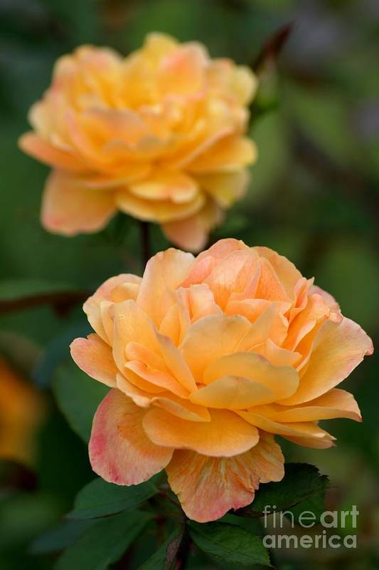 Roses Art Print featuring the photograph Golden Days Of Summer by Living Color Photography Lorraine Lynch