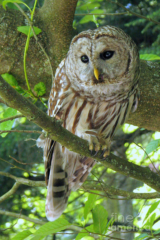 Owl. Raptor Art Print featuring the photograph Keeping An Eye Out by Frank Townsley