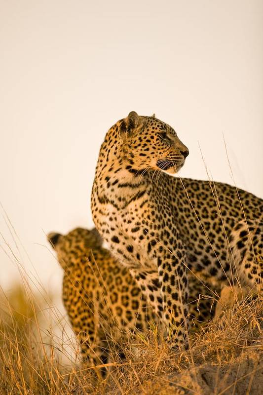 African Art Print featuring the photograph Leopard Panthera Pardus, Arathusa by Stuart Westmorland