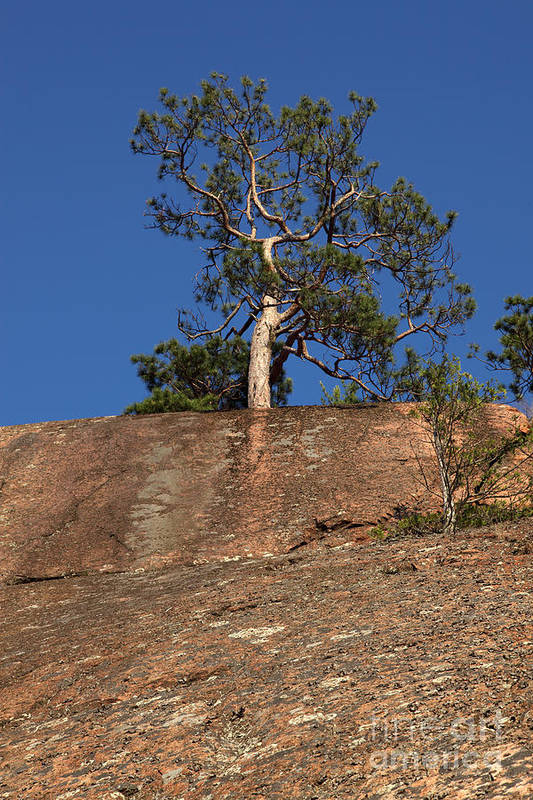 Granite Bedrock Art Print featuring the photograph Red Pine Tree by Ted Kinsman