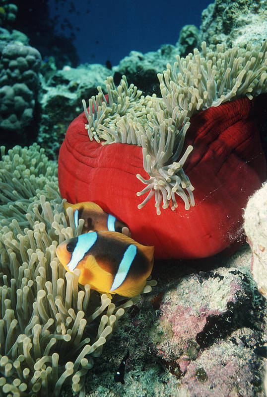 Clownfish Art Print featuring the photograph Twoband Anemonefish by Georgette Douwma