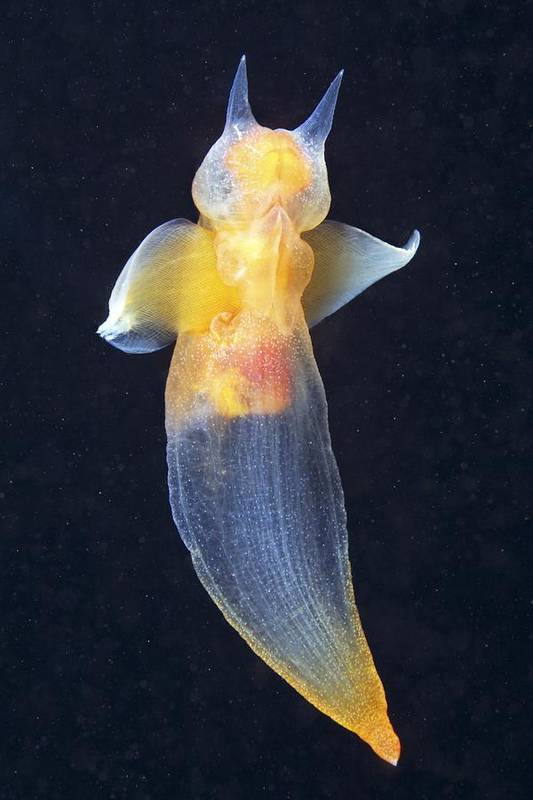 Clione Limacina Art Print featuring the photograph Common Clione by Alexander Semenov