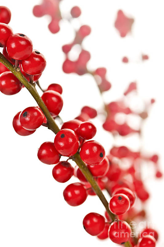 Berries Art Print featuring the photograph Red Christmas Berries by Elena Elisseeva