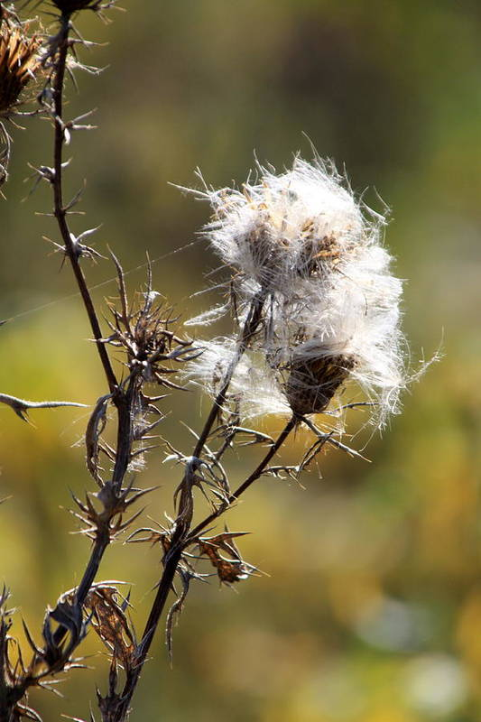 Fall Art Print featuring the photograph Going To Seed by Rick Rauzi