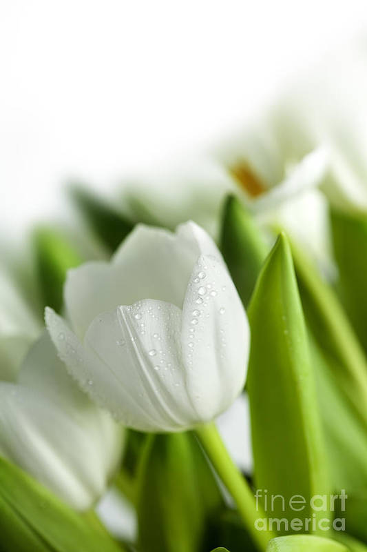 Dew Art Print featuring the photograph White Tulips by Nailia Schwarz