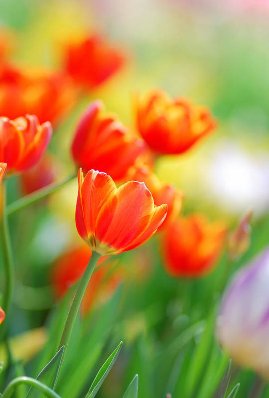 Background Art Print featuring the photograph Tulip by Thunphisit Choksamai