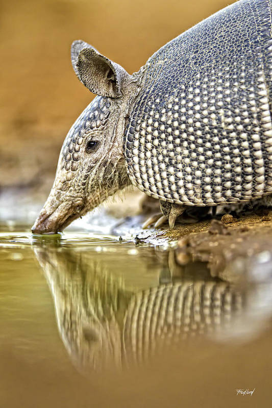 Armadillo Art Print featuring the photograph 9 Banded Armadillo by Fred J Lord