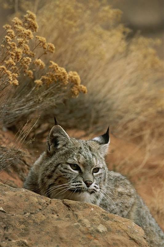 Animals Art Print featuring the photograph A Bobcat by Norbert Rosing