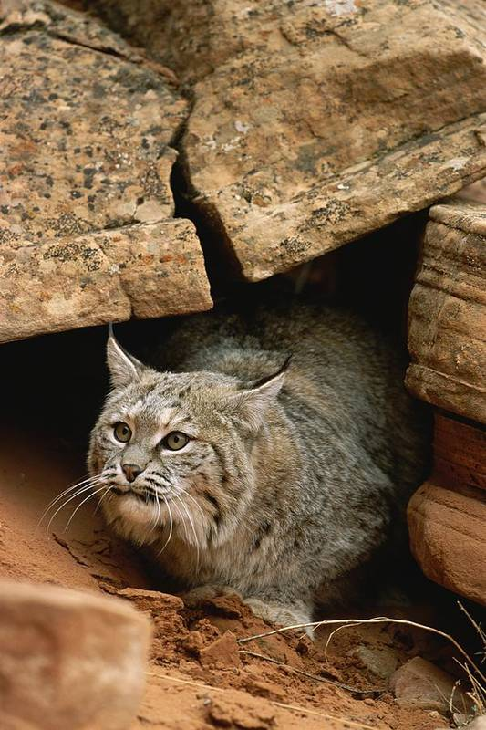 Animals Art Print featuring the photograph A Bobcat Pokes Out From Its Alcove by Norbert Rosing