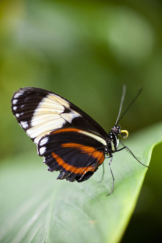 Blue And White Longwing Art Print featuring the photograph A Side View Of A Butterfly by Taylor S. Kennedy