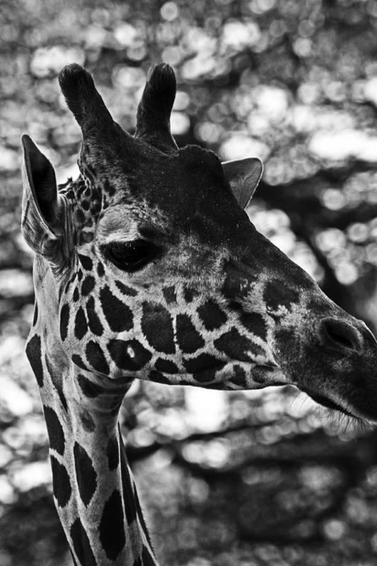 Giraffes Art Print featuring the photograph Abby In Bw by Elizabeth Doran