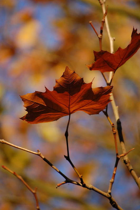 Dickon Art Print featuring the photograph Autumn Leaves II by Dickon Thompson