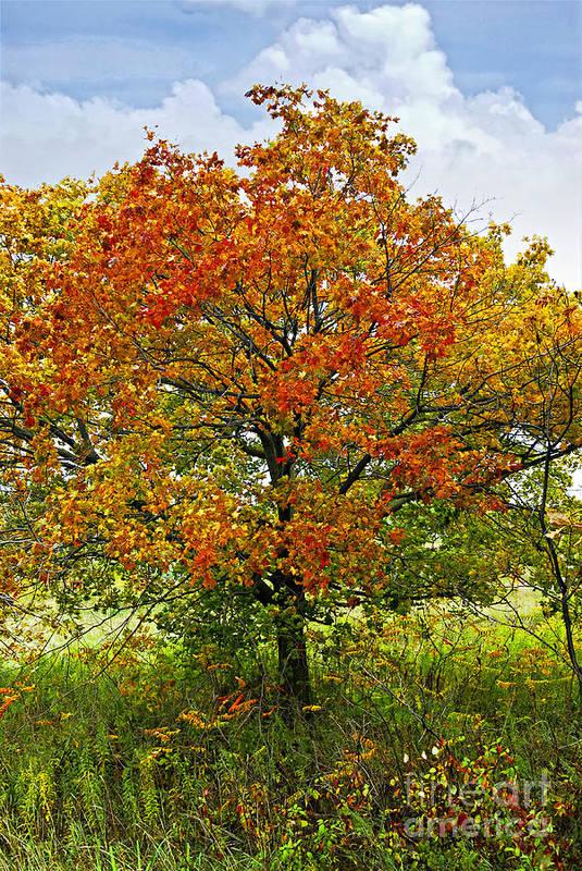 Autumn Art Print featuring the photograph Autumn Maple Tree by Elena Elisseeva