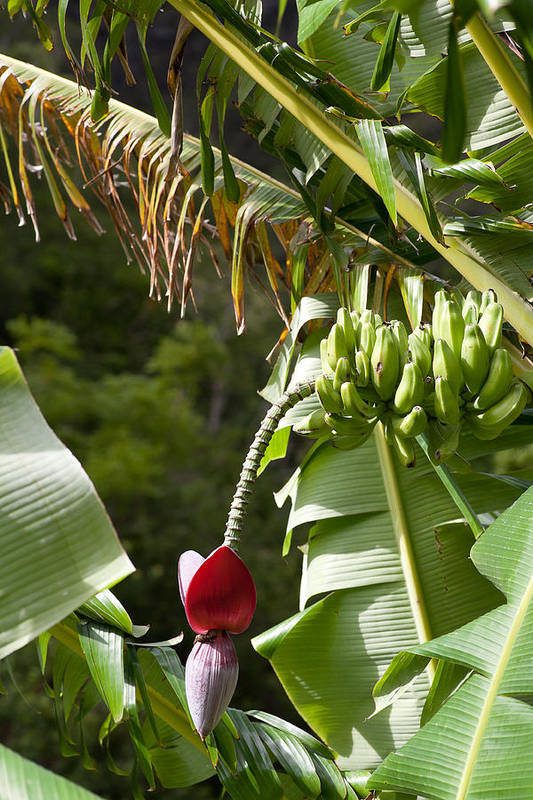 Banana Art Print featuring the photograph Banana Palm And Flower by Tony and Kristi Middleton