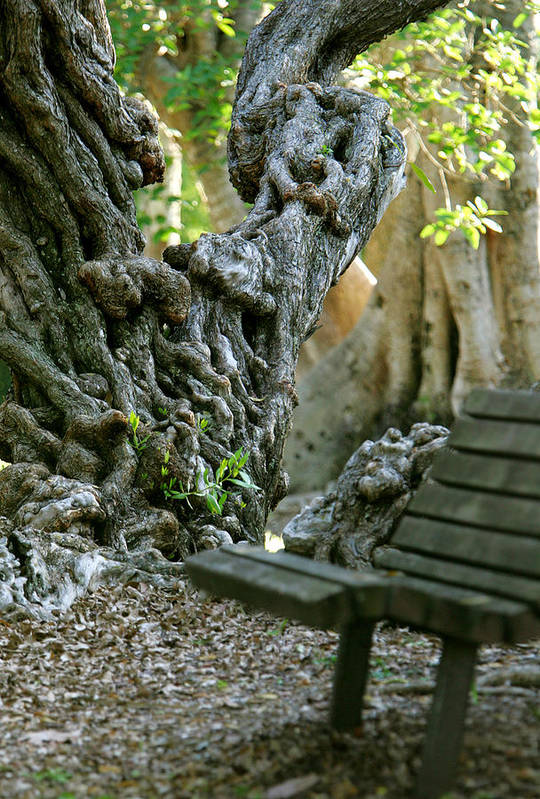 Banyan Tree Art Print featuring the photograph Banyan Tree And Park Bench by Dennis Clark