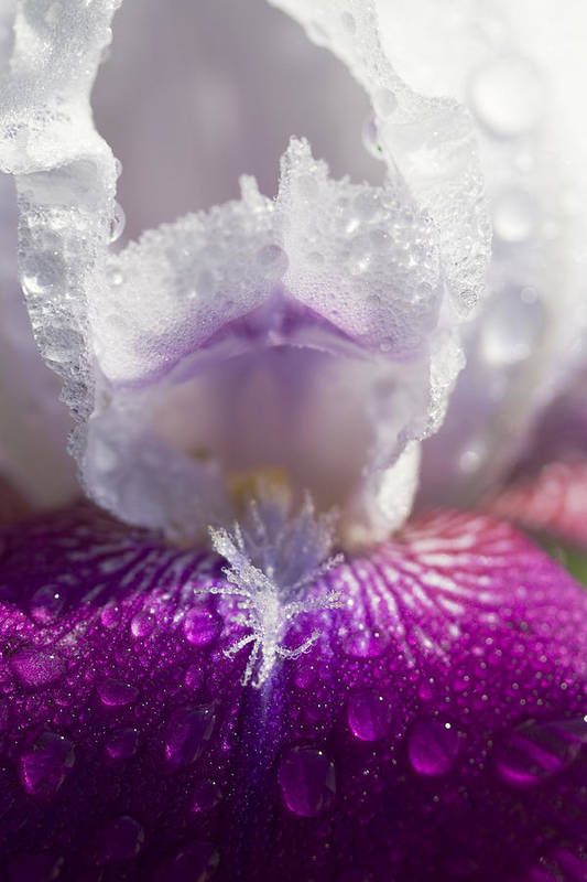 Iris Germanica Art Print featuring the photograph Bedazzled Purple And White Iris by Kathy Clark