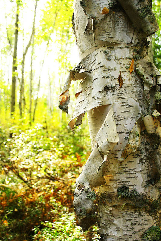 Birch Art Print featuring the photograph Birch Tree by Isabel Poulin
